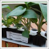 Healthy hostas delivered from Jersey plants direct