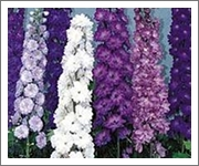 Tall Delphiniums